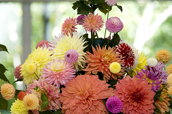 Dahlia bouquet from the American Dahlia Society National Show
