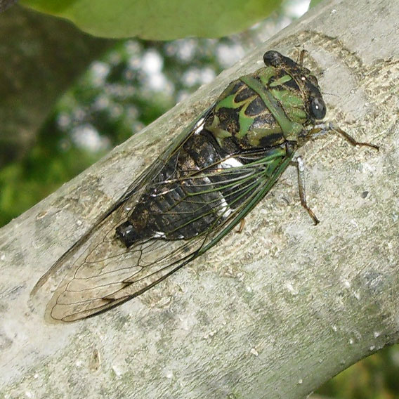PHOTO: a dogday cicada