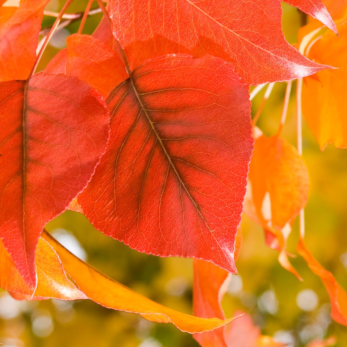 Color the leaves to understand the shades of fall