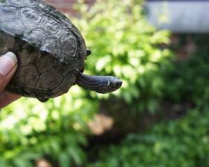 PHOTO: False map turtle
