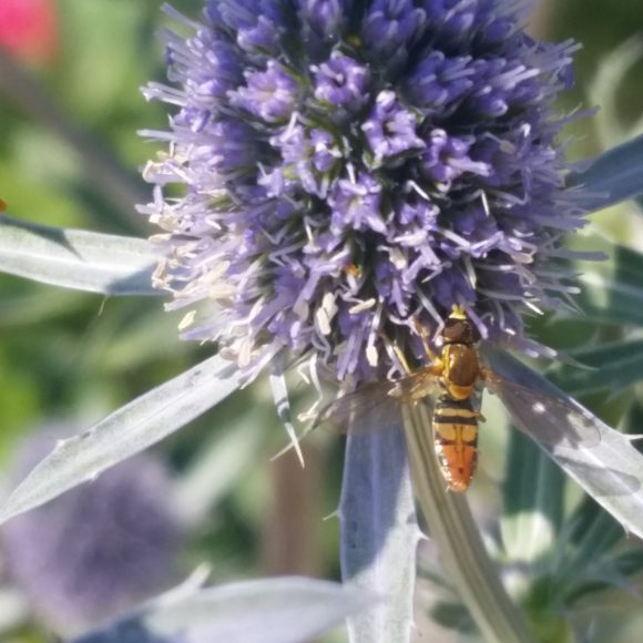 PHOTO: flower fly hovers next to the flower head.
