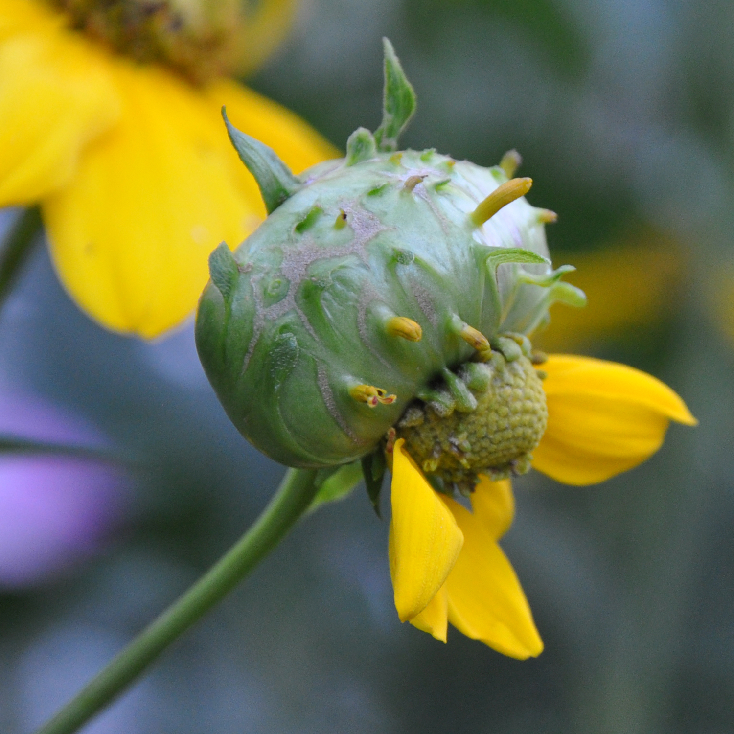 Galls on a Flower