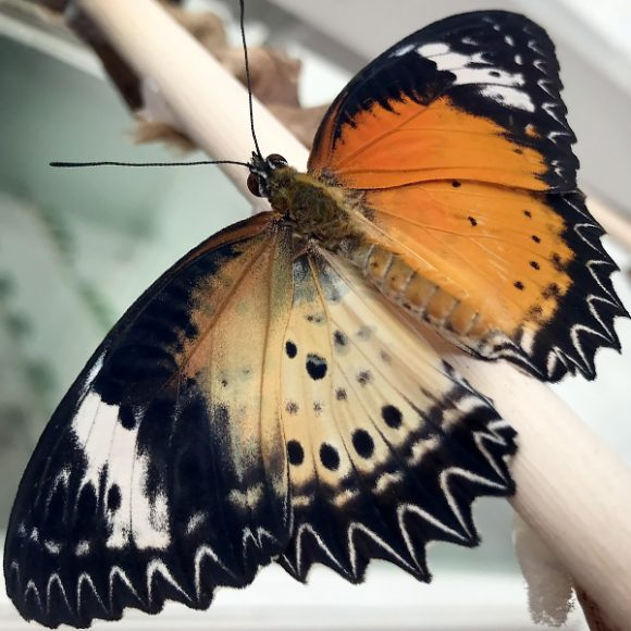 Topside of the gynandromorphic leopard lacewing