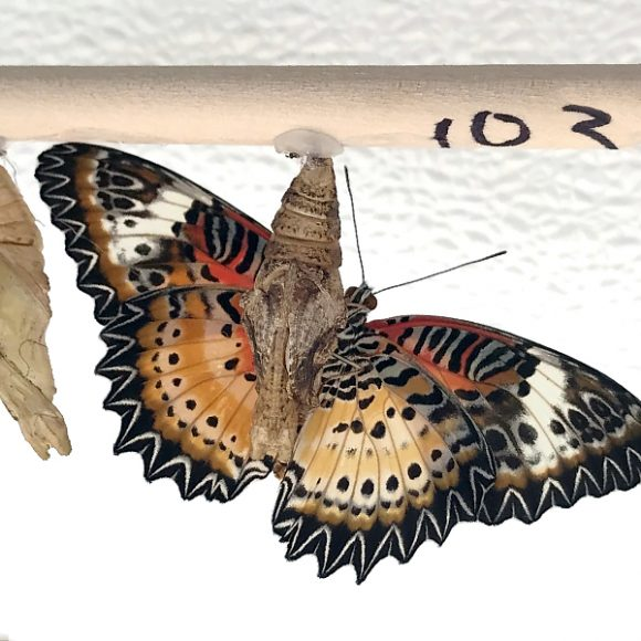 Underside of the gynandromorphic leopard lacewing