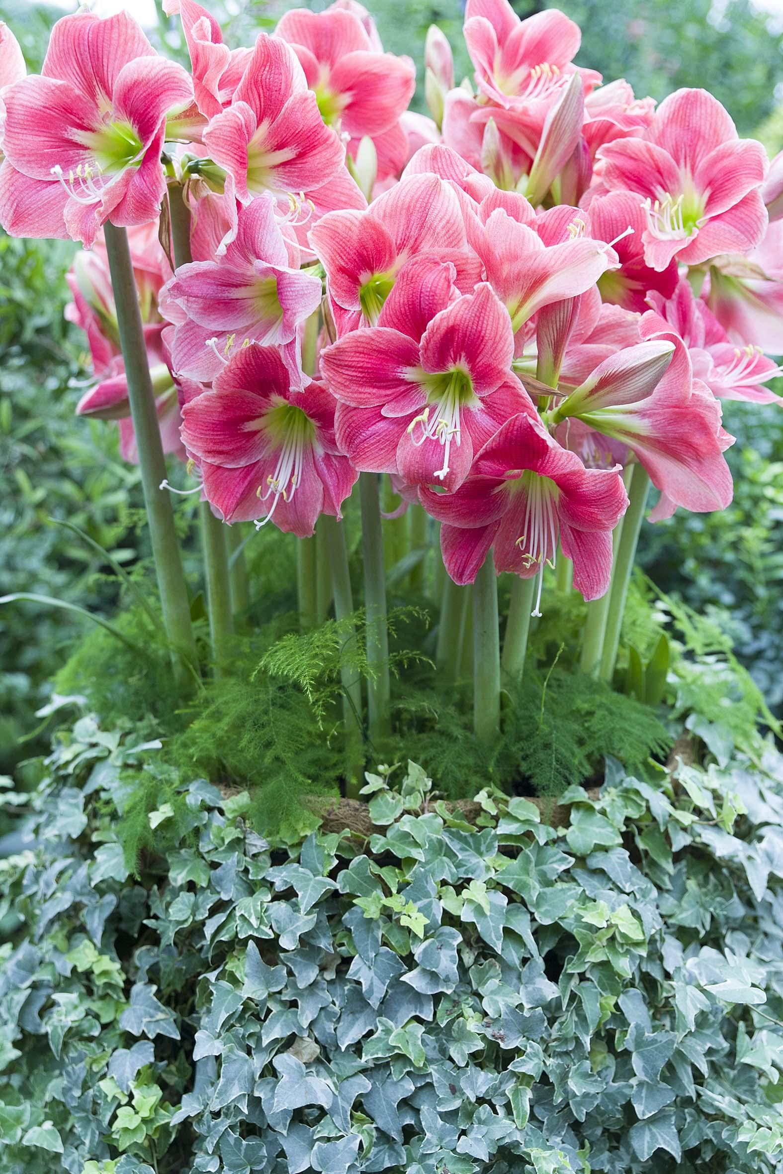 My chicago botanic garden tag archive amaryllis for Amaryllis hippeastrum