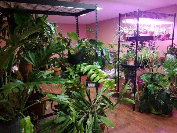 Part of Weaver's houseplant collection, grown under grow lamps in his basement.