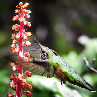 The surprising science behind hummingbirds and flowers