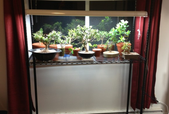 PHOTO: A plant grow light gives tropical bonsai more daylight in winter.