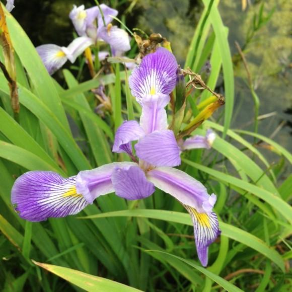 Southern blue flag iris.