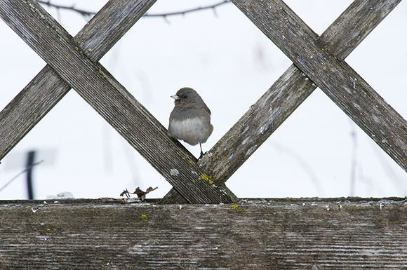 Slate-colored dark-eyed junco (Junco hyemalis)