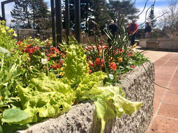 lettuce-trough