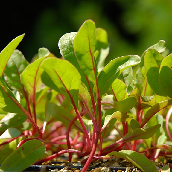 Today's Harvest: Lettuce