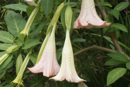PHOTO: Trumpet-shaped Brugmansia blooms hang pendulously from a vine.