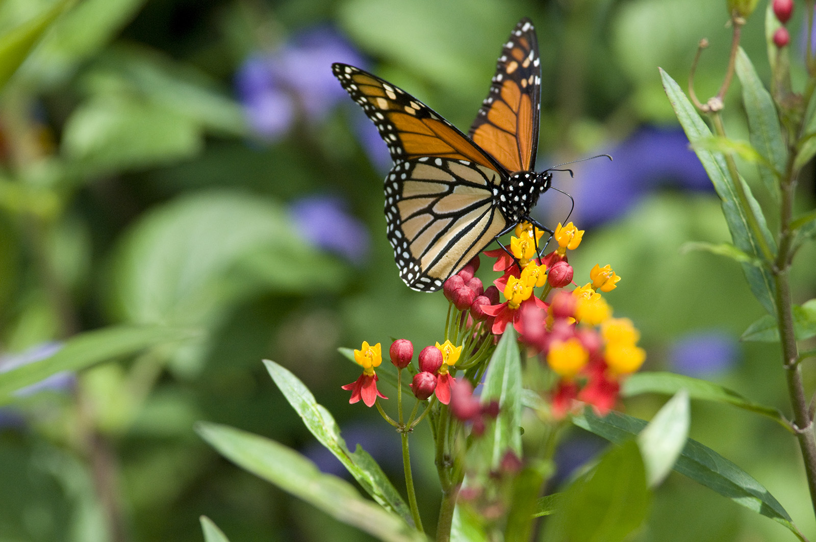 My chicago botanic garden tag archive butterflies for Butterfly on flowers