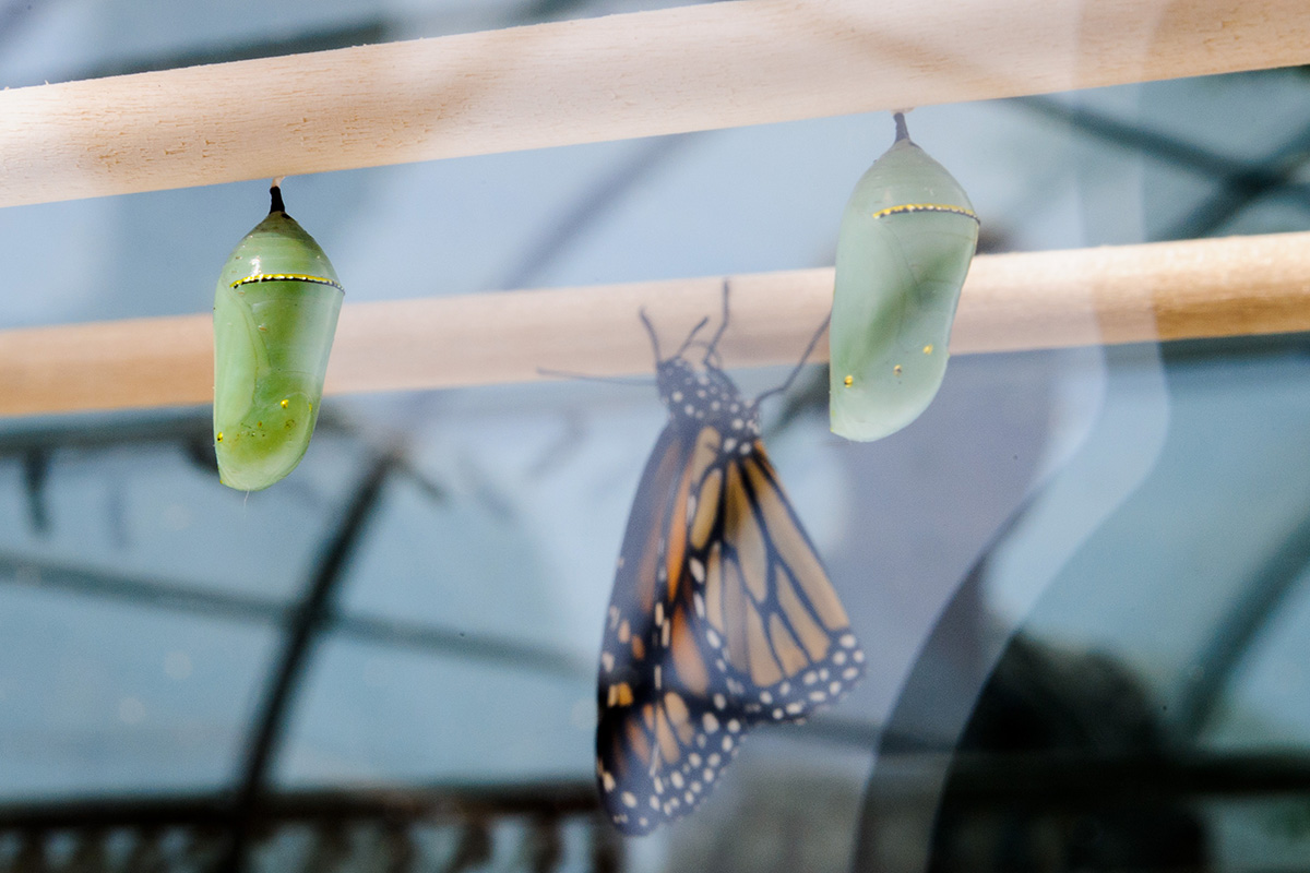 Why do monarchs and other butterflies have metallic markings?