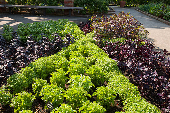 """PHOTO: seven types of basil planted in a traditional """"pie slice"""" herb bed."""