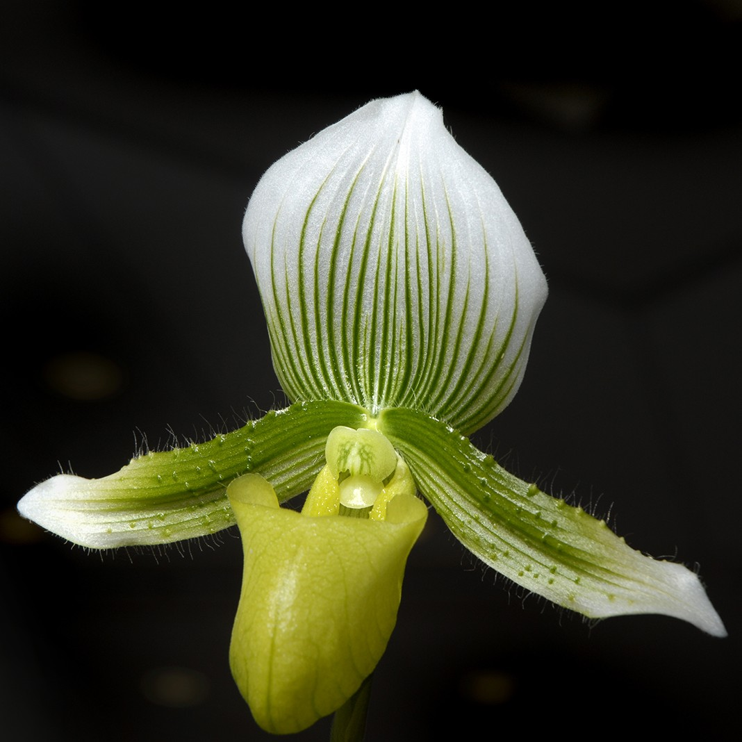 PHOTO: Closeup of Paphiopedilum, or slipper orchid bloom.
