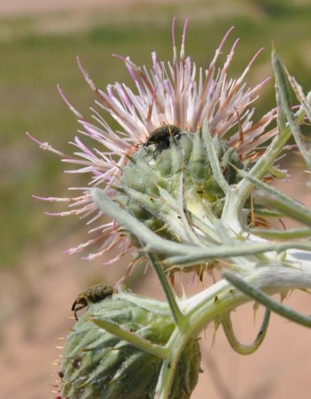 PHOTO: Adult weevils on Pitcher's thistle plants in Door County, Wisconsin