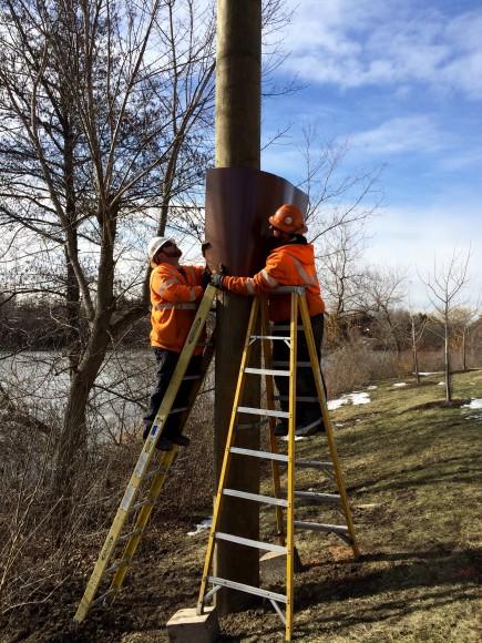 Installing an osprey nesting pole.