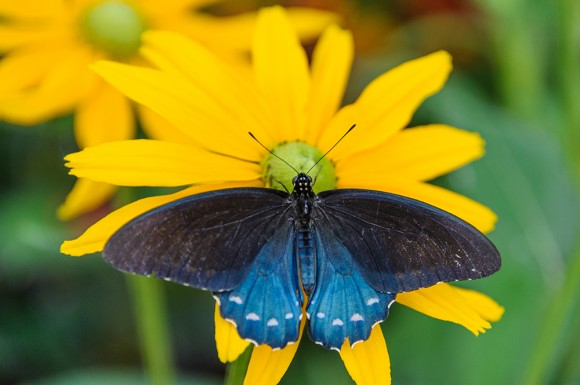 PHOTO: top view of the Pipevine Swallowtail butterfly.