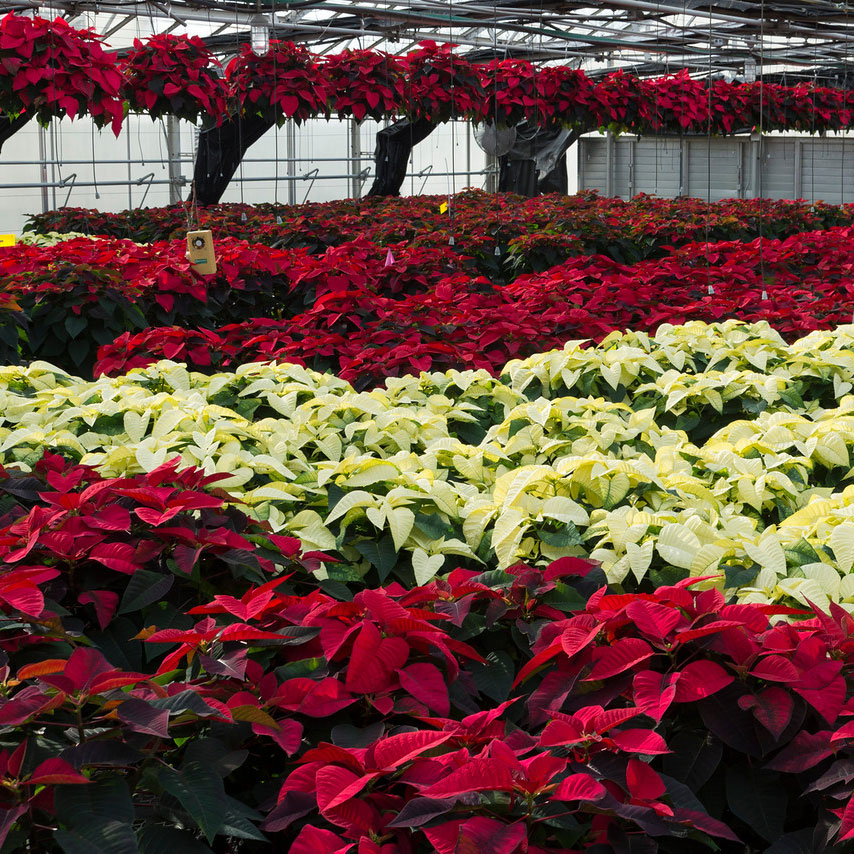 PHOTO: Poinsettias in production.