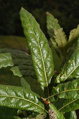 PHOTO: Quercus oglethorpensis.