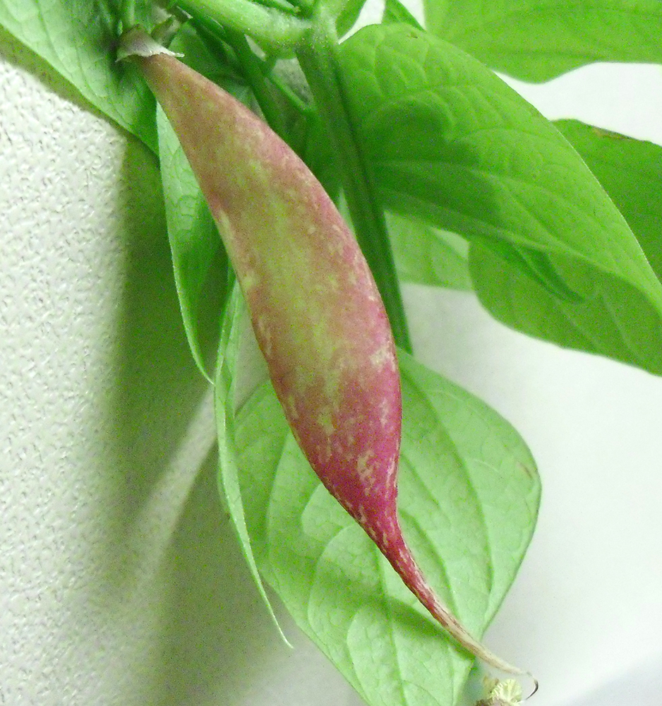 PHOTO: close up of the bean pod grown in the bag.