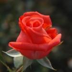 rosa 'tanorstar' Tropicana Hybrid tea rose. 1