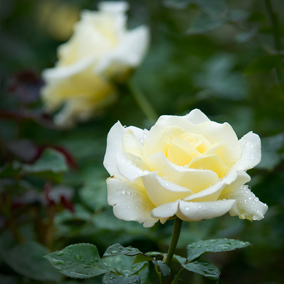 rosa 'Dicjana'