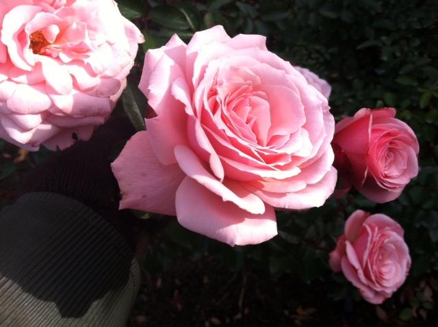 Goodnight, Roses