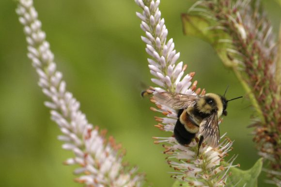 A rusty-patched bumblebee on Culver's root in the UW–Madison Arboretum. Photo by Susan Day, UW-Madison Arboretum.