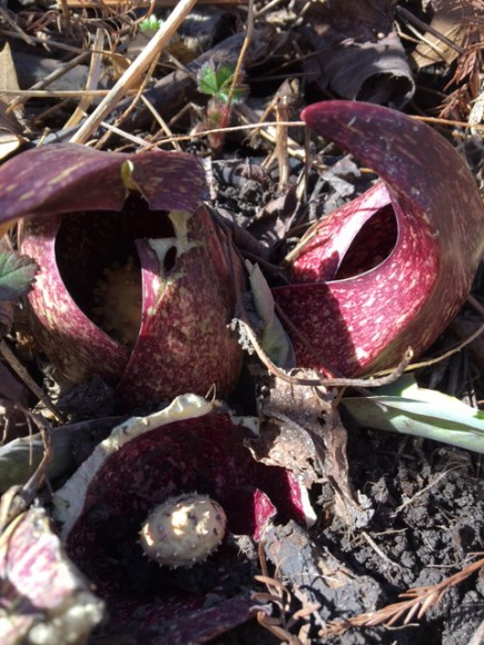PHOTO: A skunk cabbage blooms in early March in the McDonald Woods.