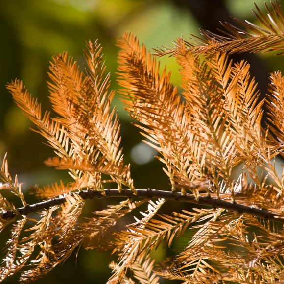 Closeup of a bald cypress branch in golden fall color.
