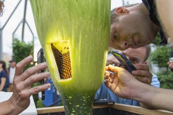The flashlight apps of several cell phones light this morning's pollination activities. Dr. Shannon Still wields a paintbrush laden with pollen, brushing it lightly on the female flowers on the spadix.