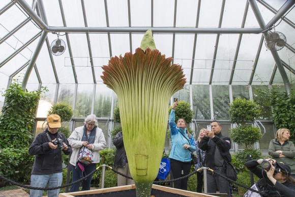 Phones and cameras are out in force today to capture the magical titan arum bloom. The square in the back of the flower is the replaced spathe where pollination occurred moments earlier.