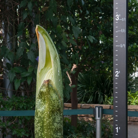 """PHOTO: Taken yesterday (August 11, 2015), our titan arum reaches the """"halfway"""" point in its growth chart."""