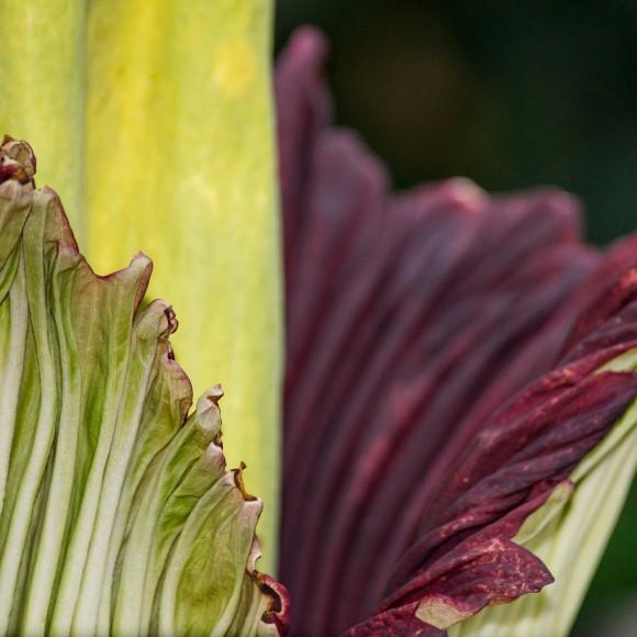 PHOTO: Titan arum (Amorphophallus titanum).