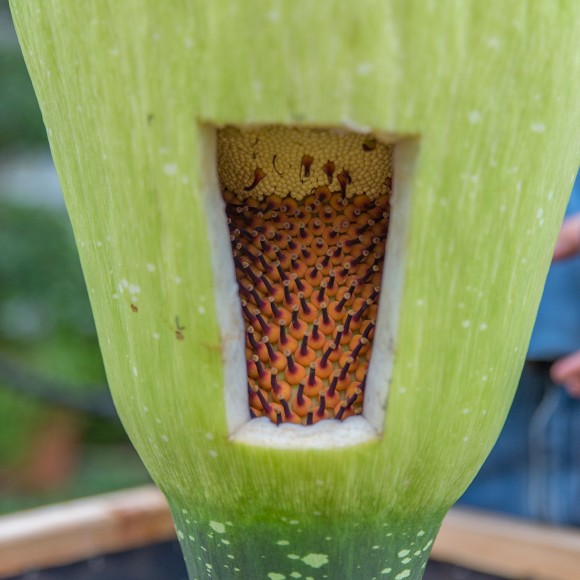 The female Amorphophallus titanum flowers are ready for pollination.