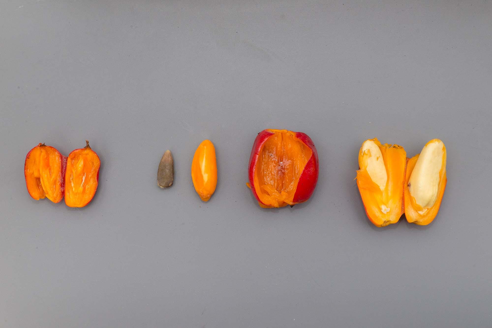 Alice the Amorphophallus—An Update on Titan Arum Fruit