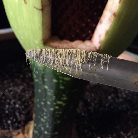 Long strings of pollen are collected from Alice the Amorphophallus.