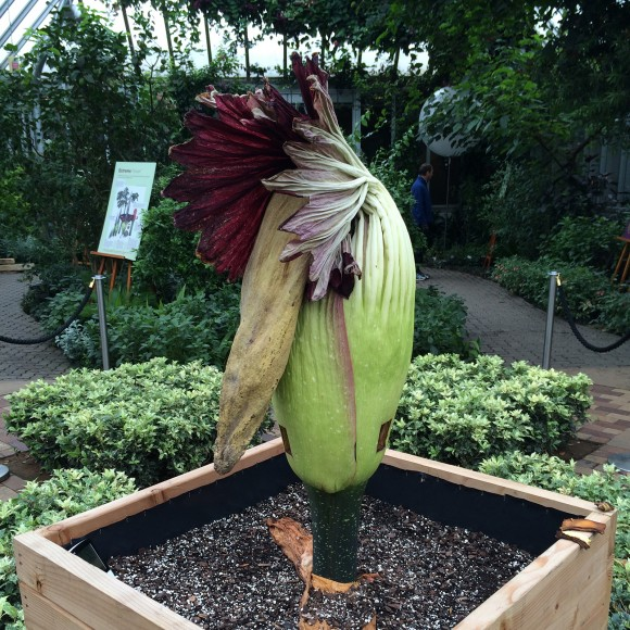 The titan arum spadix collapses after bloom.