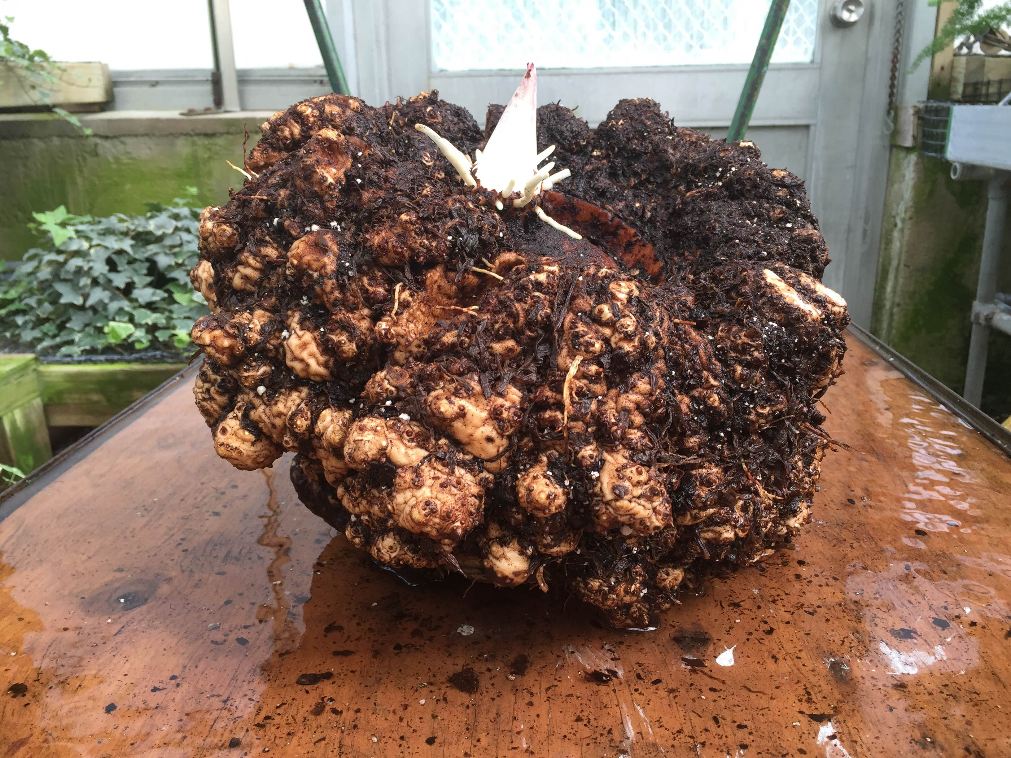Repotting Alice the Amorphophallus