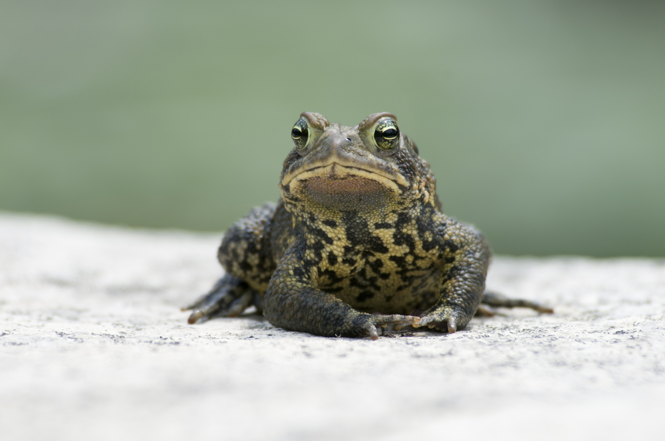 PHOTO: female toad looking directly at the camera