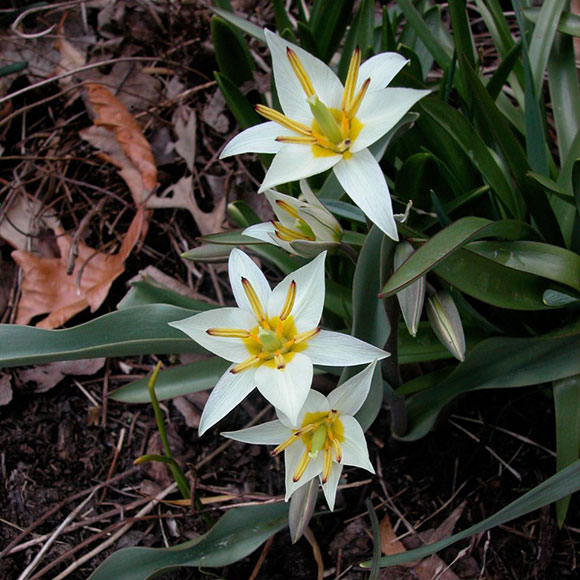 PHOTO: Tulipa turkestanica.