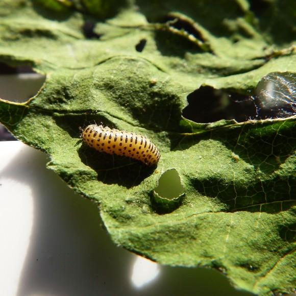 PHOTO: Viburnum leaf beetle (Pyrrhalta viburni) larva.