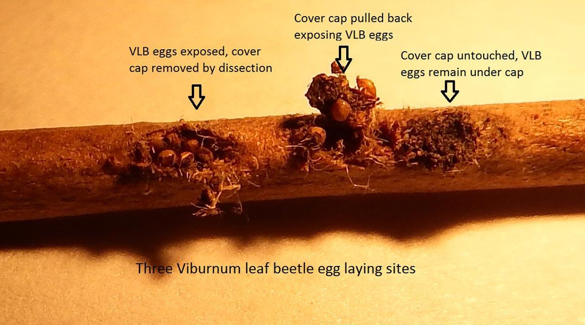 viburnum leaf beetle egg laying sites