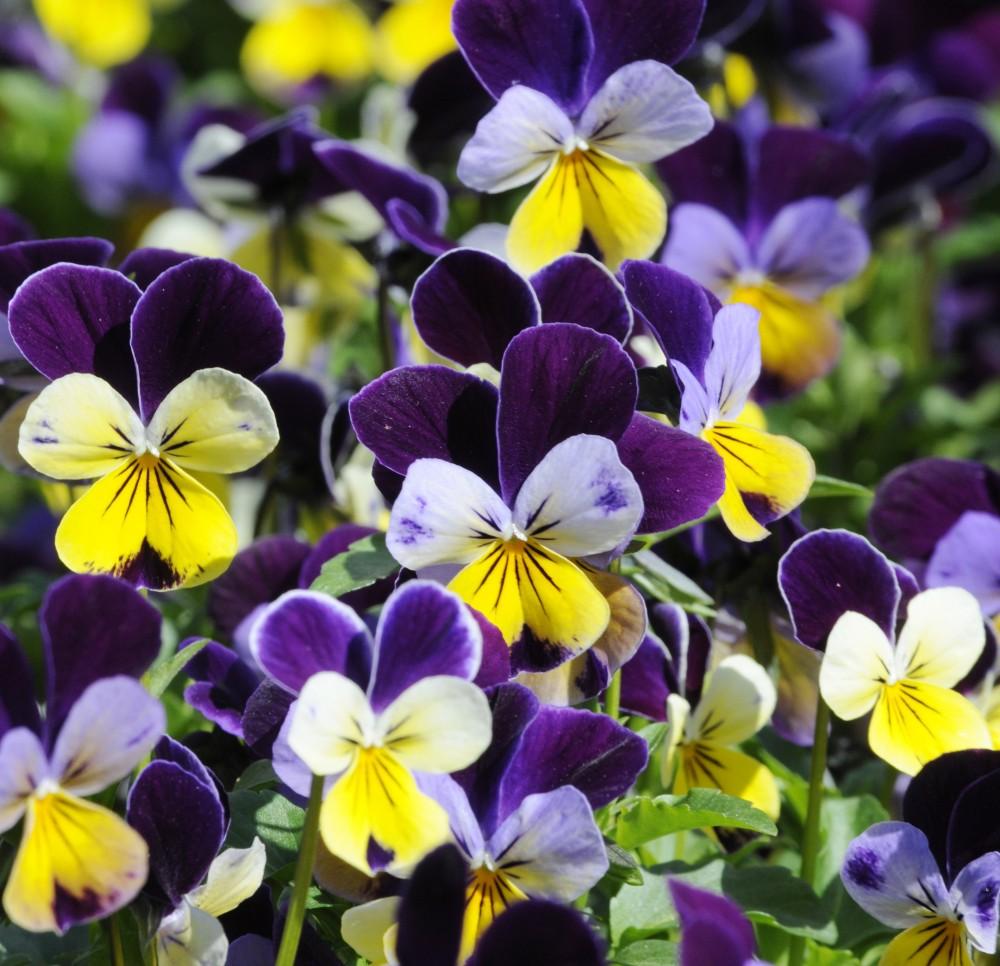 PHOTO: Closeup of a multicolored viola in bloom.