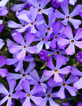 Violet Pinwheels phlox.