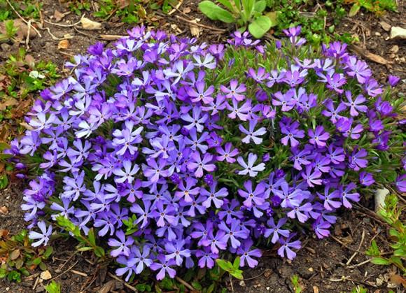 PHOTO: Violet Pinwheels phlox.