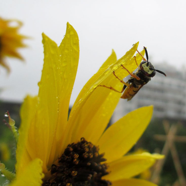 PHOTO: Wasp on a flower, drinking raindrops.